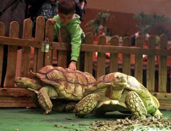 <p><br /> Spornschildkröten werden über 80 cm groß und&nbsp; bis zu 100 Jahre alt.</p>