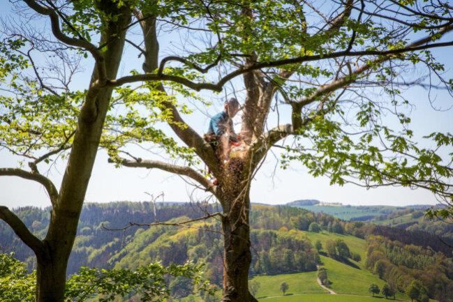 <p>...tragen Baumkletterer der Chemnitzer Firma Wirth &amp; Wiener im Auftrag der Stadt Augustusburg die schwer geschädigten Bäume direkt auf dem Kunnerstein Stück für Stück ab.</p>