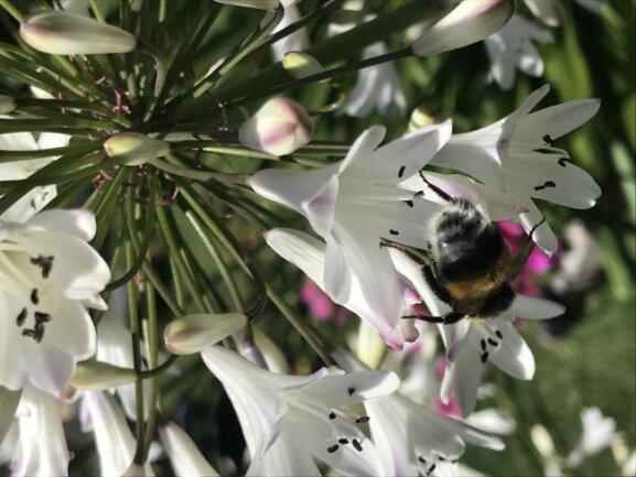<p>Besonders viele Hummeln und Bienen werden von den schönen Blüten angelockt.</p>