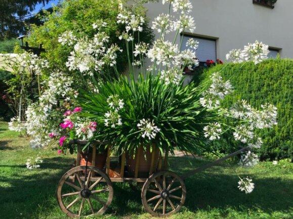 <p>Ein weißer Agapanthus (Schmucklilie) aus dem Garten von Christoph Uhlig in Schellenberg.</p>
