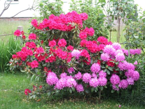 <p>Dietmar Matthes aus dem Saydaer Ortsteil Friedebach schickte dieses Foto eines Rhododendron.</p>
