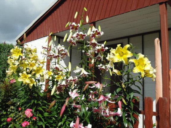 <p>Baumlilien von Familie Zein aus Halsbrücke</p>