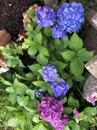 <p>Gina Schneider aus Großhartmannsdorf schickte diese blau-lila blühende Hortensie.</p>