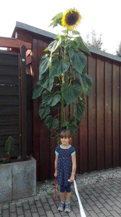 <p>Veronika Grasers Enkelin mit einer riesigen Sonnenblume.</p>