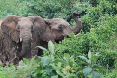 Glück gehabt: Zwei Elefanten trauen sich aus dem dichten Grün des Nebelwaldes.