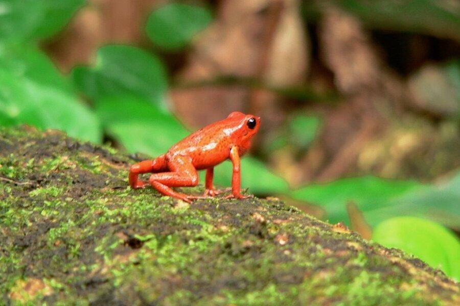 Ein Männchen der Art Oophaga pumilio ruft mit geschwellter Schallblase nach einem Weibchen.