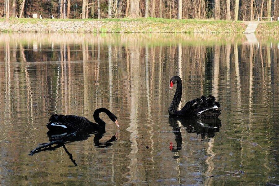 Neues Schwanen-Paar im Sahnpark geht noch auf Distanz