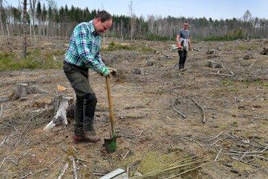 Im Rossauer Wald pflanzen die Forstwirte Peter Reinelt (vorn) und Tino Voßler vom Staatsbetrieb Sachsenforst derzeit auf einer großen Kahlfläche Pappeln.