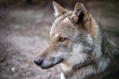 Bundeslandwirtschaftsministerin Julia Klöckner hat sich für einen härteren Umgang mit Wölfen ausgesprochen.