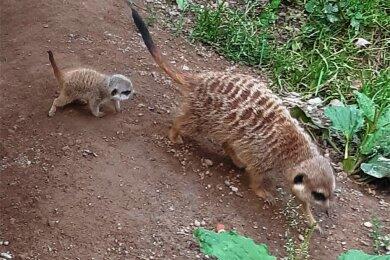 Der Klingenthaler Tierpark hat ersten Nachwuchs bei den Erdmännchen.