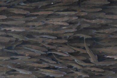 Im Rochlitzer Mühlgraben, in der Nähe das Schaukelstegs, tummeln sich derzeit tausende Fische - größtenteils Döbel. Dass sie in der kalten Jahreszeit nicht tiefer stehen, könnte mehrere Gründe haben.