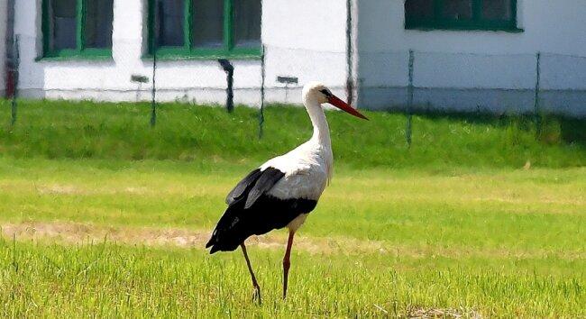 Der Storch kehrt in Hainichen ein.
