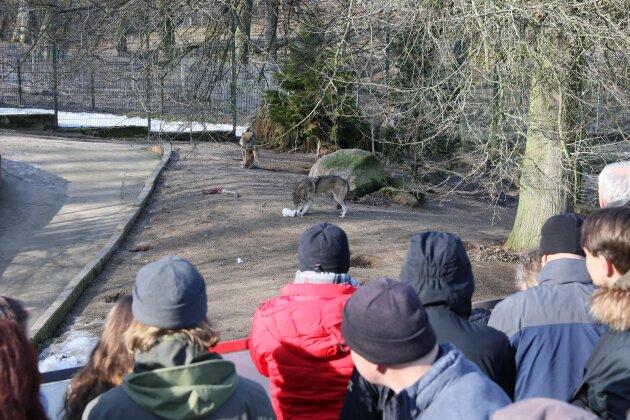 Wolfstag im Tierpark Hirschfeld