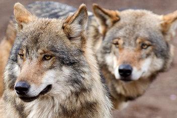 Geköpfter Wolf: DNA-Proben für Ermittlungen gesammelt