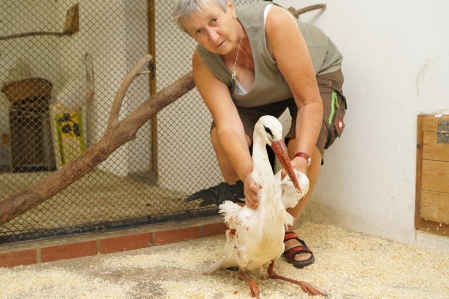 Tierparkleiterin Ramona Demmler hofft, dass der Storch, der nach der Amputation des Flügels sehr schwach ist, überlebt.