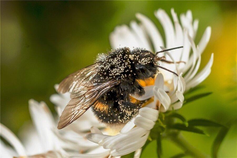 Lohn für die Mühe: Die Pelzbiene stärkt sich für den Pollentransport mit Herbstasternektar.