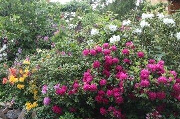 Im Villenviertel in Augustusburg gibt es viele Vorgärten mit Rhododen-dronbüschen.