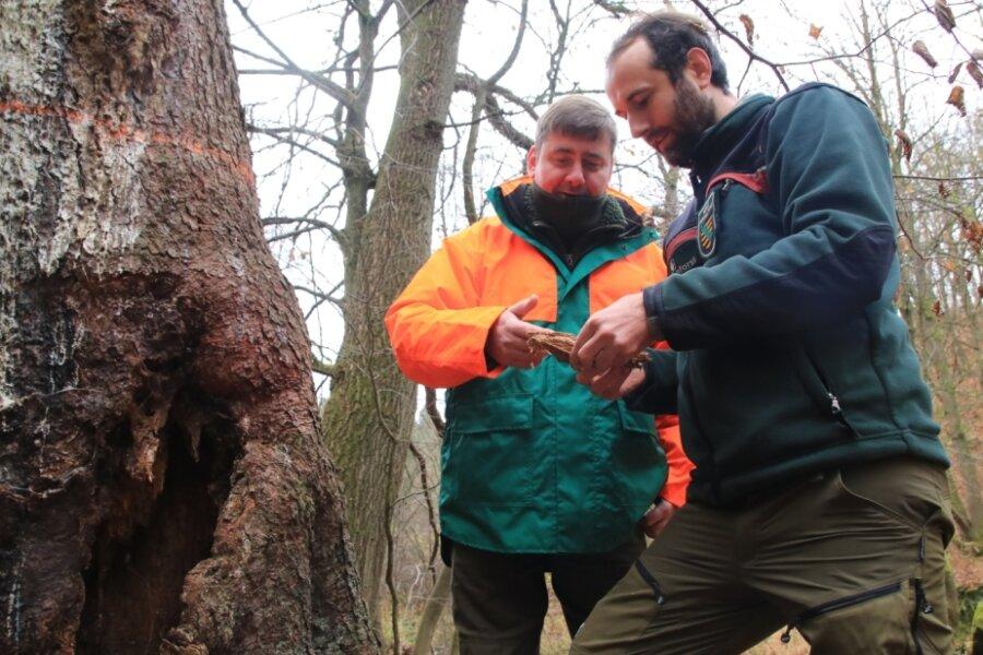 Dirk Giebel (links), Mitarbeiter des Staatsbetriebes Sachsenforst, und Revierleiter Nick Schubert begutachten im Triebtal das vom Borkenkäfer und von Ameisen geschädigte Fichtenholz.