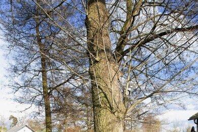 Der Baumbewuchs in Zwoschwitz ist meist alt. Nach Ansicht von Ortsvorsteher Ingo Eckardt sollte man sich über Ersatzpflanzungen Gedanken machen, weil nicht jeder Baum zu retten sei.