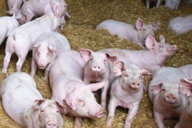 So, wie die Ferkel jetzt schon, werden auch die Mastschweine bald auf Stroheinstreu stehen.