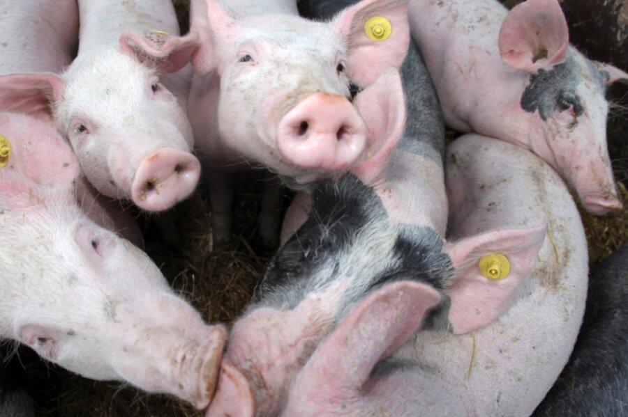 Damit die Afrikanische Schweinepest, die für Schweine meist tödlich endet, nicht in die Produktionsbetriebe eingetragen wird, sind enorme Sicherheitsvorkehrungen notwendig.