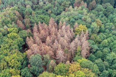 Abgestorbene Fichten, die die Trockenheit nicht überstanden haben, stehen zwischen gesunden Bäumen.