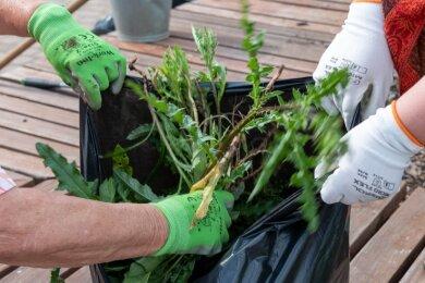 Vor allem den vielen Disteln galt es, Herr zu werden. Diese Pflanzen und weiteres Unkraut landeten in einem guten Dutzend Säcken.