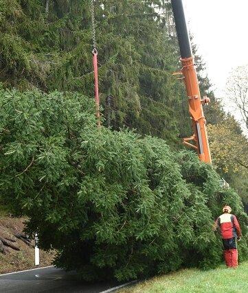 Mitarbeiter der Wohlhausener Firma Waldwirtschaft Jacob fällten in der Nähe von Gunzen einen Weihnachtsbaum für Zwickau.