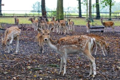 Jäger nehmen in den nächsten Tagen einen Teil des Damwildes im Sahnpark ins Visier.