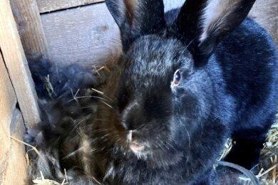 Kaninchen Ingrid hat es bei Familie Weiner in Jahnsbach richtig gut. Vor wenigen Tagen brachte das Langohr, das vier Freunde bei einer Auktion ersteigert haben, seinen ersten Wurf zur Welt. Die Jungtiere sind noch im dichten und warmen Fell-Nest (hinten links) verborgen.