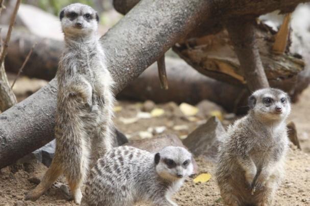 Auch für die bei vielen Besuchern des Chemnitzer Tierparks beliebten Erdmännchen sieht der Masterplan eine neue Anlage vor.