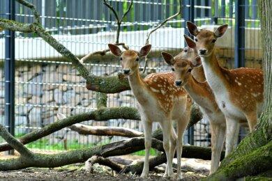 Das Damwild im Stadtpark in Hainichen schaut sich neugierig um. Künftig soll eine Bepflanzung den Tieren mehr Rückzugsräume verschaffen.