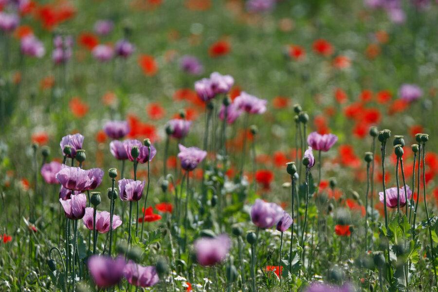 Mohnfelder in voller Blüte