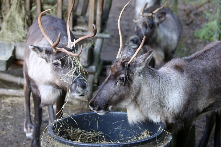 Die Rentiere im Natur- und Wildpark Waschleithe probieren aus Langeweile die neuesten Heufrisuren aus. Rentier Rudi ist 2019 gestorben.