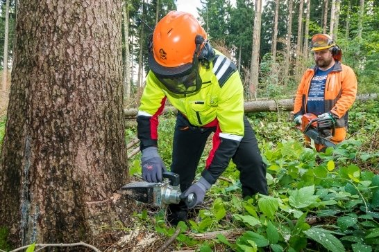 Waldarbeiter Marius Miu (vorn, hinten Martin Ehnert) setzt im Thesenwald zwischen Sorgau, Grundau und Ansprung an eine vom Borkenkäfer befallene, 130 Jahre alte Fichte einen mechanischen Fällkeil an.