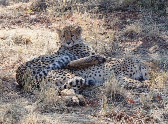 Nichts bringt sie aus der Ruhe: Die Mittagshitze wiegt die jungen Geparden ins Traumland der Wildnis.