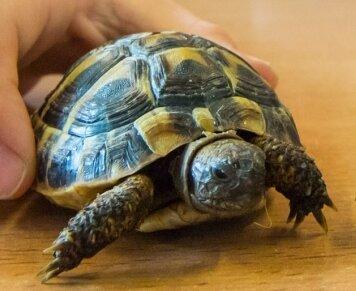 Das Foto zeigt Schildkröte Sammy.