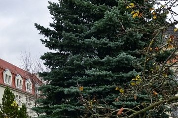 Der Frankenberger Baum an der Freiberger Straße an der Kaserne.