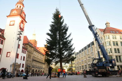 Die 20 Meter hohe Fichte hat ihren Platz vor dem Rathaus gefunden. Nur geschmückt werden muss sie noch.