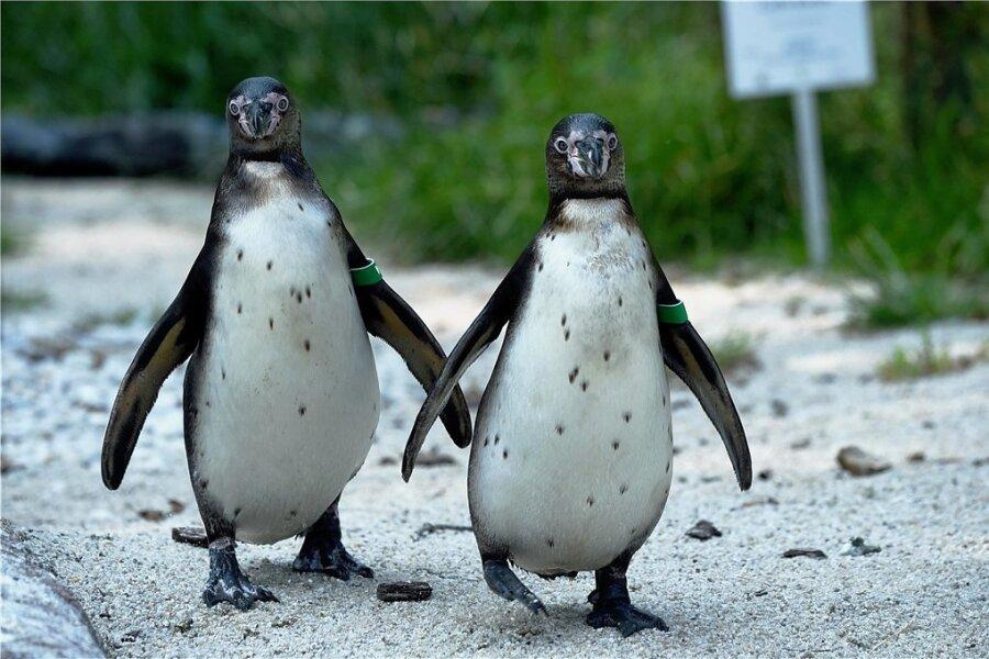 Bei den Humboldt-Pinguinen im Amerika-Tierpark Limbach-Oberfrohna (hier ein Archivbild) hat sich erstmals Nachwuchs eingestellt. Ein Foto vom Küken gibt es noch nicht. Es bleibt vorerst in der Bruthöhle.