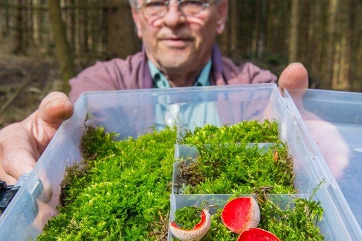 Blutrot schimmert Pilz im Moos