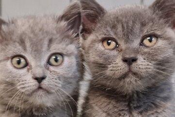 Die zwei Britisch-Kurzhaar-Katzen befinden sich inzwischen in der Obhut eines Tierheims.