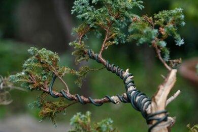 Mit Draht werden die Äste der kleine Bäume geformt.