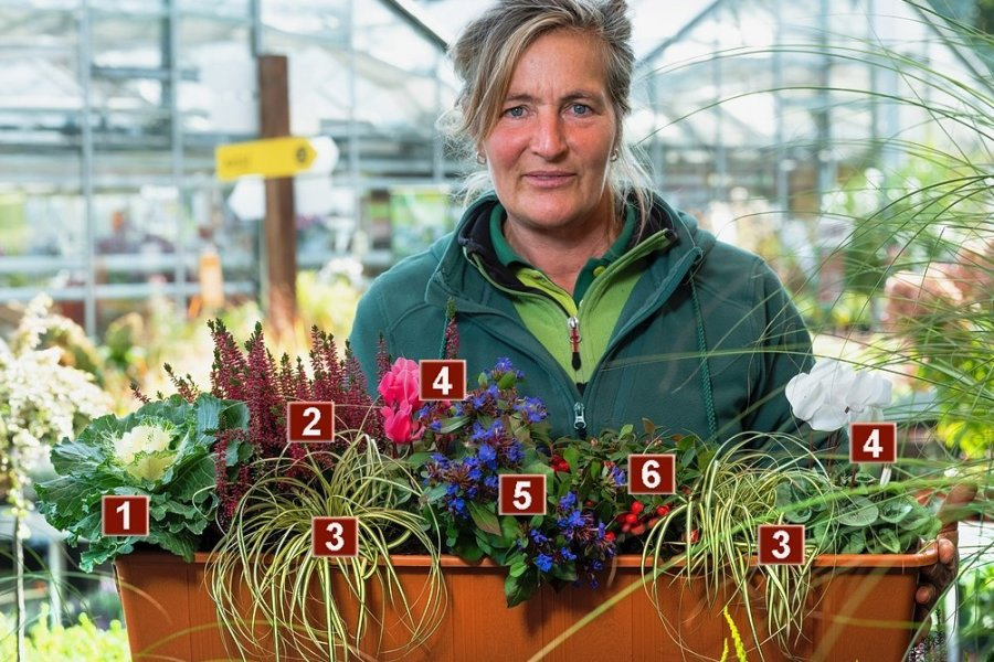 Kohl kann ein glamouröses Gemüse sein, wie dieser Zierkohl Brassica (1) beweist. Claudia Forkert vom Dresdner Gartenmarkt Rülcker hat ihn mit einer dunkelpinken Besenheide (2), einer Segge (3), Outdoor-Alpenveilchen (4), dem chinesischen Scheinbleiwurz (5) und der Rebhuhnbeere (6) farbenfroh in Szene gesetzt.