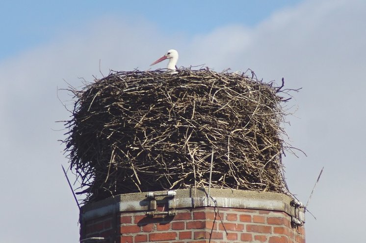 Cunersdorfer Storch ist daheim geblieben