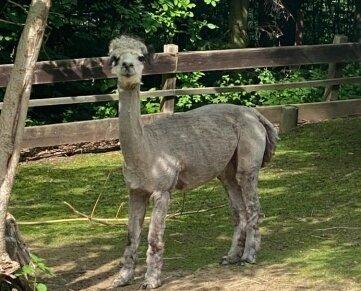 """Wieder """"nackig"""": die Alpakas im Zoo der Minis."""