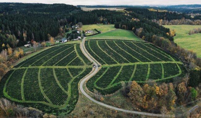 Eine Weihnachtsbaumplantage der Wohlhausener Firma Wald-Jacob aus der Drohnenperspektive. Die Firma bietet auch dieses Jahr wieder Bäume zum Selbstschlagen vor Ort an. Die Baumpreise steigen dabei nicht.