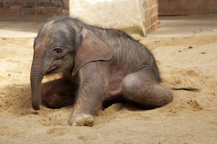 Nach Operation ist kleiner Elefant aus Leipziger Zoo wohlauf