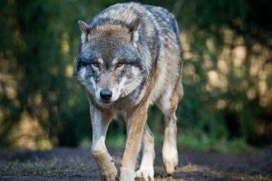 Nutztierhalter rüsten auf, um sich vor dem Wolf zu schützen