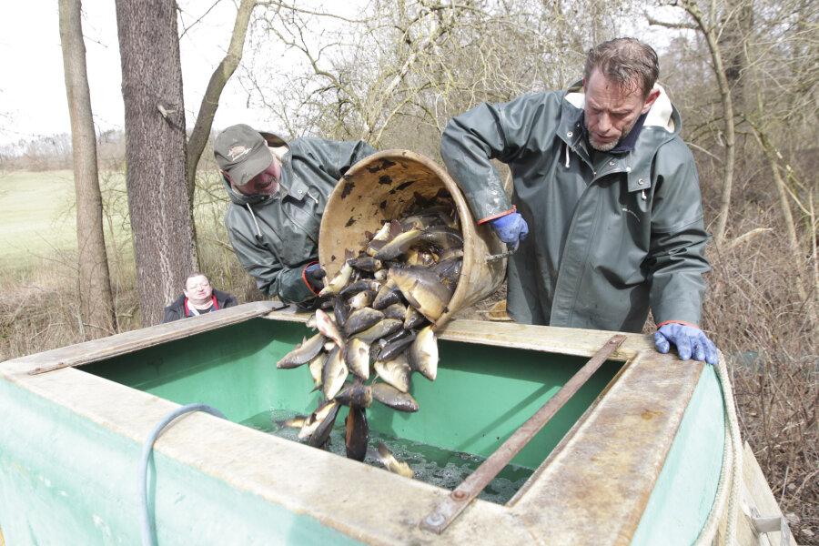 Das Problem mit dem Mönch gab es schon 2018: Manfred Oehm (links) und Thomas Müller setzten die geretteten Fische gestern in große Wasserbehältnisse um. Die Karpfen sollen in die Schönberger Teiche gebracht werden.
